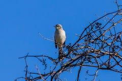 Sätta sig nordlig härmfågel fotografering för bildbyråer