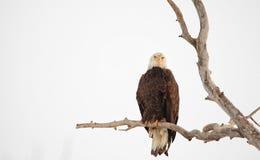 Sätta sig skalliga Eagle i ett vintrigt träd royaltyfri bild