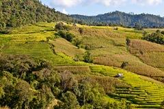 Sätter in asiatisk rice för Southeast terrasser. Royaltyfri Bild