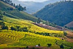 Sätter in asiatisk rice för Southeast terrasser. Royaltyfri Fotografi