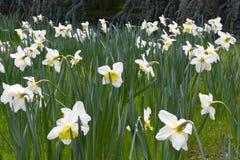 Oavkortad blom för fastlagenlilja Royaltyfria Bilder
