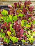 Sätze des Mangolds wartend, heraus gepflanzt zu werden Stockfotos