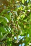 Säubern Sie grüne Mangofrüchte Lizenzfreie Stockfotos