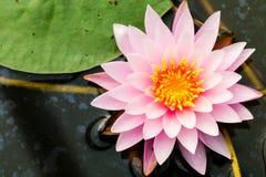 Säubern Sie Lotos oder rosa Band des Nymphaea Stockbild