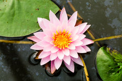 Säubern Sie rosa Lotos auf verseuchtem Wasser Lizenzfreies Stockbild
