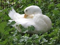 Säubern Sie weiße Entefedern Stockfoto