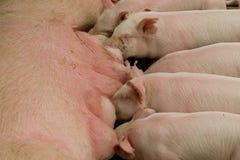 Säugenrosafarbene Schweine stockbilder