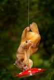 Säugetier, das Zuckerwasser von der roten Zufuhr saugt Kinkajou, Potos Flavus, tropisches Tier im Naturwaldlebensraum Säugetier i lizenzfreie stockfotos