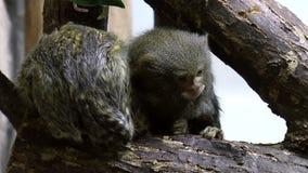 Säugetier-Pygmäeseidenäffchenaffen stock video footage