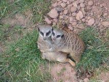 Säugetiere passen auf Stockfoto
