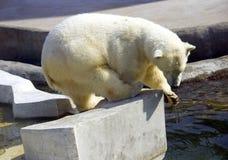 Säugetierwolle des Fleisch fressenden Tiers des Eisbären polare Nord lizenzfreie stockfotografie