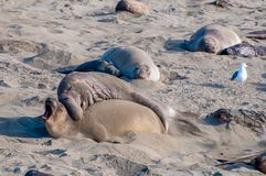 Słoń foki W miłości obraz stock