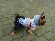 Słodki młody żeński Silky Terrier w różnorodnych kolorowych kurtkach obraz royalty free