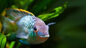 Słodkowodnego kolorowego dorosłej samiec cichlid Nannacara anomala neonowy błękitny obszycie kamera fotografia royalty free