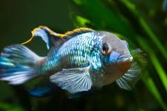 Słodkowodnego spektakularny i potężnego samiec Nannacara anomala neonowy błękitny cichlid pokazuje swój tarłowego zachowanie fotografia stock