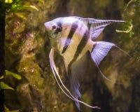 Słodkowodny angelfish, bardzo popularna ryba w aquaculture, tropikalna ryba od Amazon basenu fotografia stock