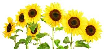 Słonecznikowa panorama na białym tle obrazy stock
