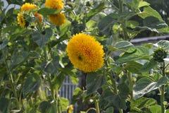 Słonecznikowy naturalny tło, Słonecznikowy kwitnienie obrazy stock