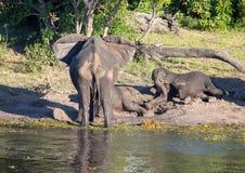 Słonie blisko wody chobe rzeka w Botswana obrazy royalty free