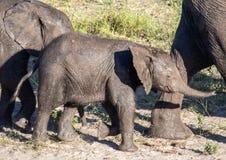 Słonie blisko wody chobe rzeka w Botswana fotografia stock