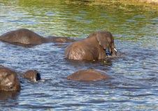 Słonie kąpać się i bawić się w wodzie chobe rzeka w Botswana obrazy stock