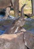 Słonie kąpać się i bawić się w wodzie chobe rzeka w Botswana fotografia stock