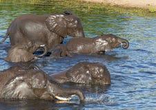 Słonie kąpać się i bawić się w wodzie chobe rzeka w Botswana obraz stock