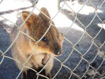 Så gullig quokka från Perth Arkivfoto