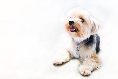 Så gullig Shih tzuhund och leende i den vita bakgrunden Royaltyfri Fotografi