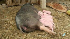 Så matande spädgrisar för svinet, små spädgrisar, behandla som ett barn svin lager videofilmer