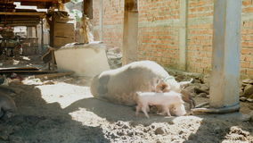 Så matande spädgrisar för svinet, små spädgrisar, behandla som ett barn svin stock video