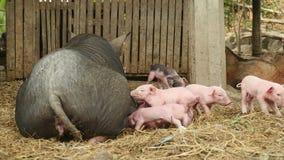 Så matande spädgrisar för svinet, små spädgrisar, behandla som ett barn svin arkivfilmer