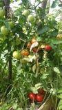 Så mogna tomater Fotografering för Bildbyråer