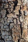 Så nära textur för trädskäll Royaltyfri Foto