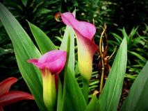 Så rosa liljor arkivfoton