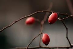Så små men så härliga lösa rosor Arkivfoton