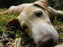 Så uttråkad vit hund arkivfoto