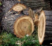 Sågade stammar av träd Arkivbild