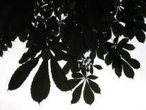 Sågtandade kanter av lösa kastanjebruna sidor Fotografering för Bildbyråer