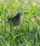 Sångare i gräset Fotografering för Bildbyråer