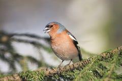 Sångfågelbofinkallsånger på filialerna Arkivfoto