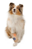 sårad bensheepdog shetland royaltyfri foto