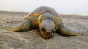 Sårad död sköldpadda Arkivfoto