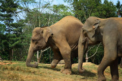 sårad elefantlankasri royaltyfri fotografi