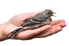 Sårad fågelträdpipit i händerna som isoleras på vit bakgrund Anthustrivialis svala arkivbild
