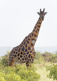 Sårad giraff i savannet Arkivbild