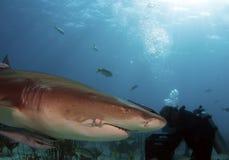 sårad haj Arkivfoton