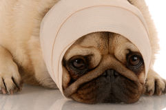sårad hund arkivbild