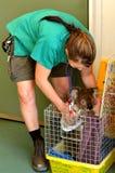 Sårad koala Fotografering för Bildbyråer