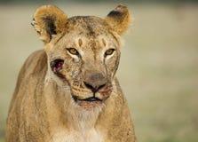 Sårad lejoninna arkivfoto